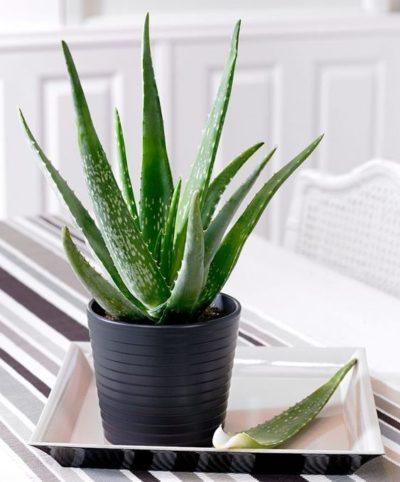 indoor aloe vera plant